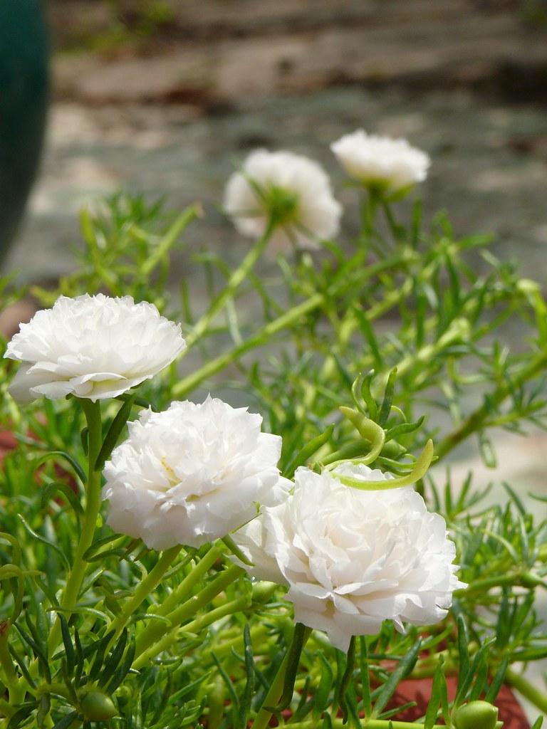 Hoa mười giờ trắng toát nở rộ