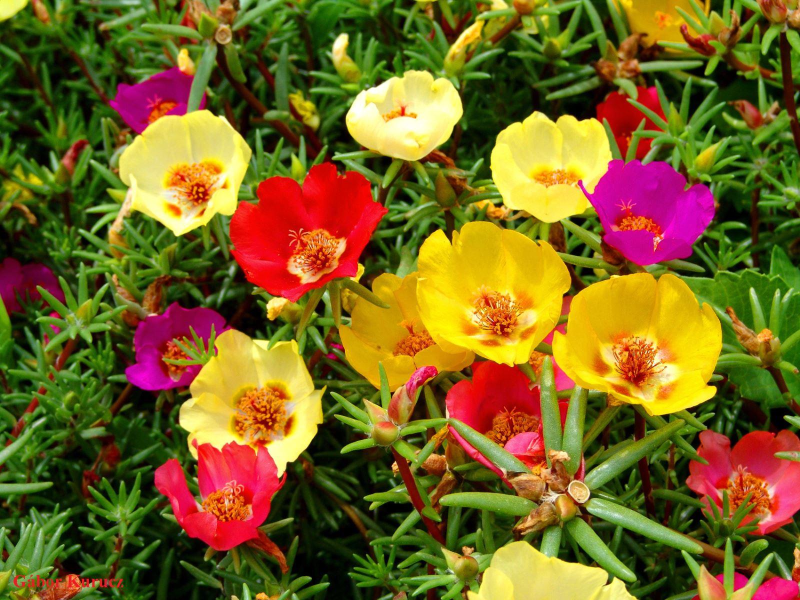 Hoa mười giờ vàng đỏ tím