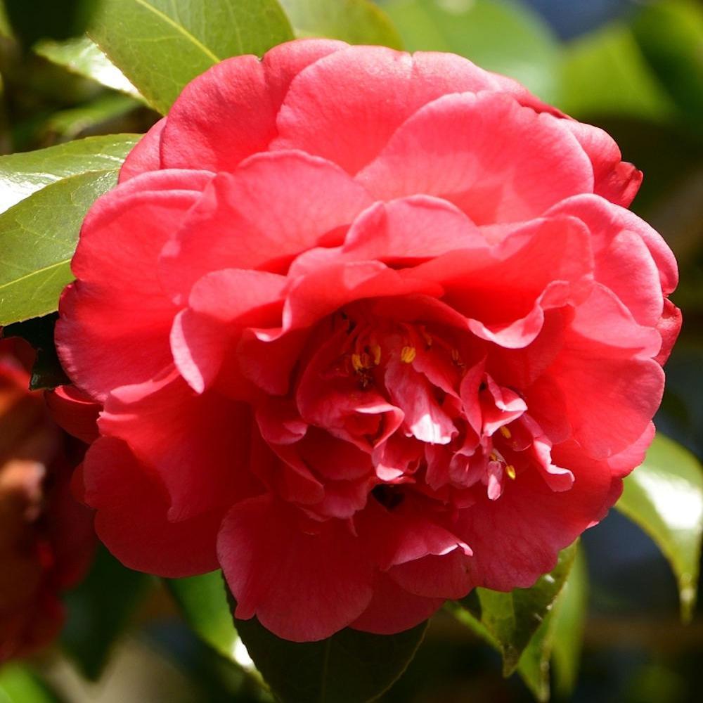 Hoa trà mi đỏ thắm rất đẹp