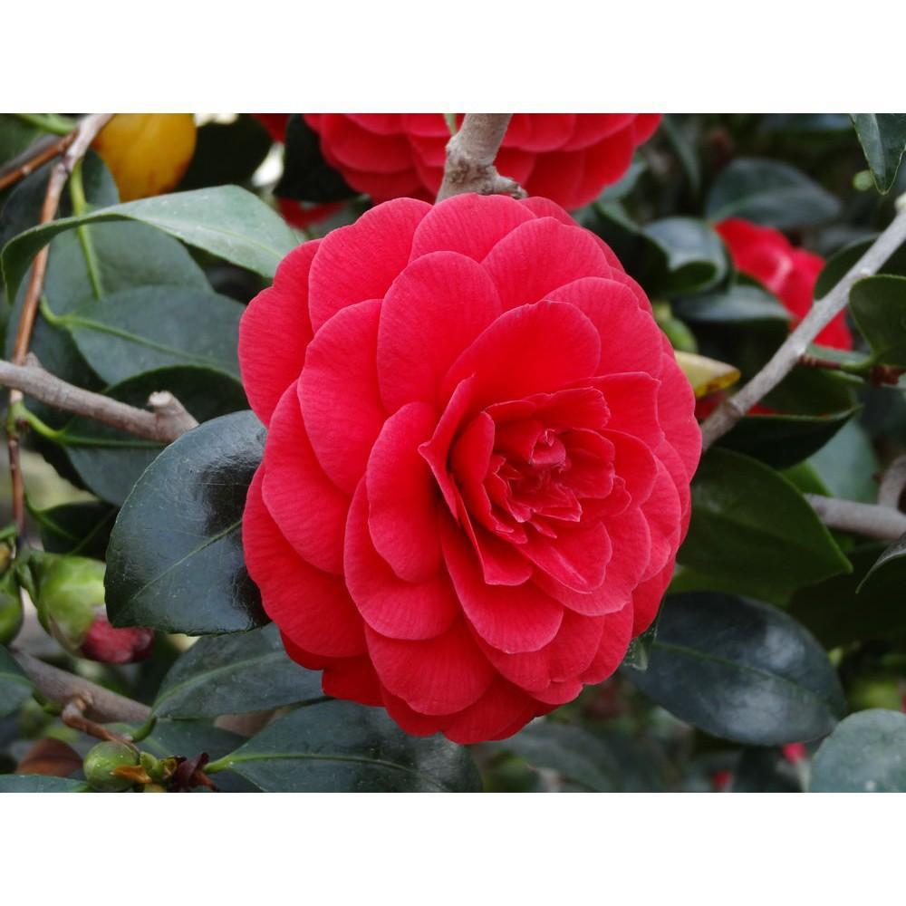 Hoa trà mi đỏ tươi nở rộ nhiều lớp cánh hoa rất đẹp