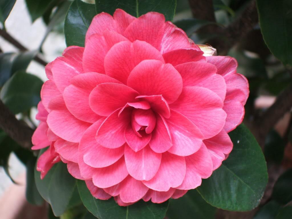 Hoa trà mi hồng nở ra nhiều lớp cánh rất đẹp