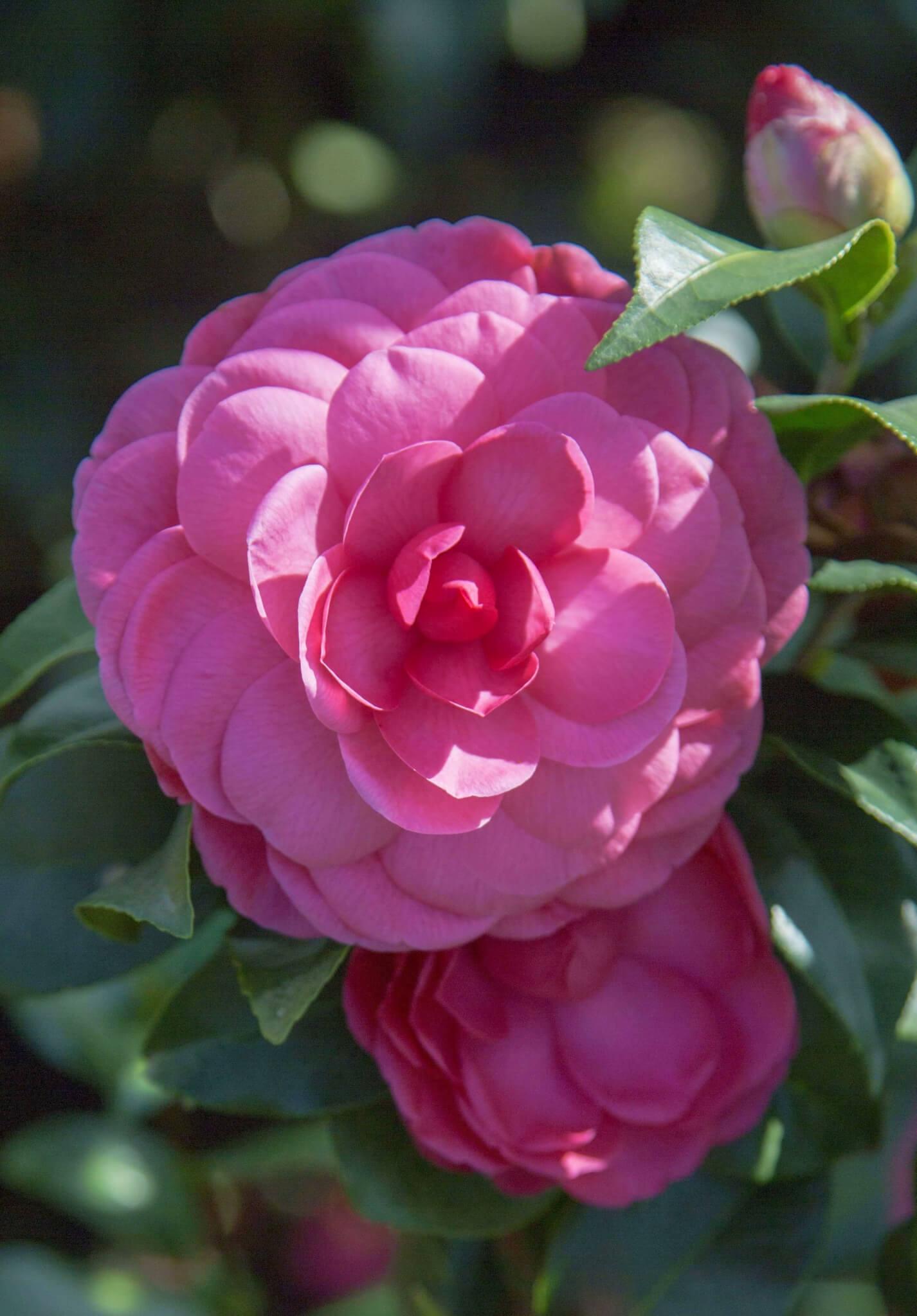 Hoa trà mi hồng thắm nở rộ rất đẹp