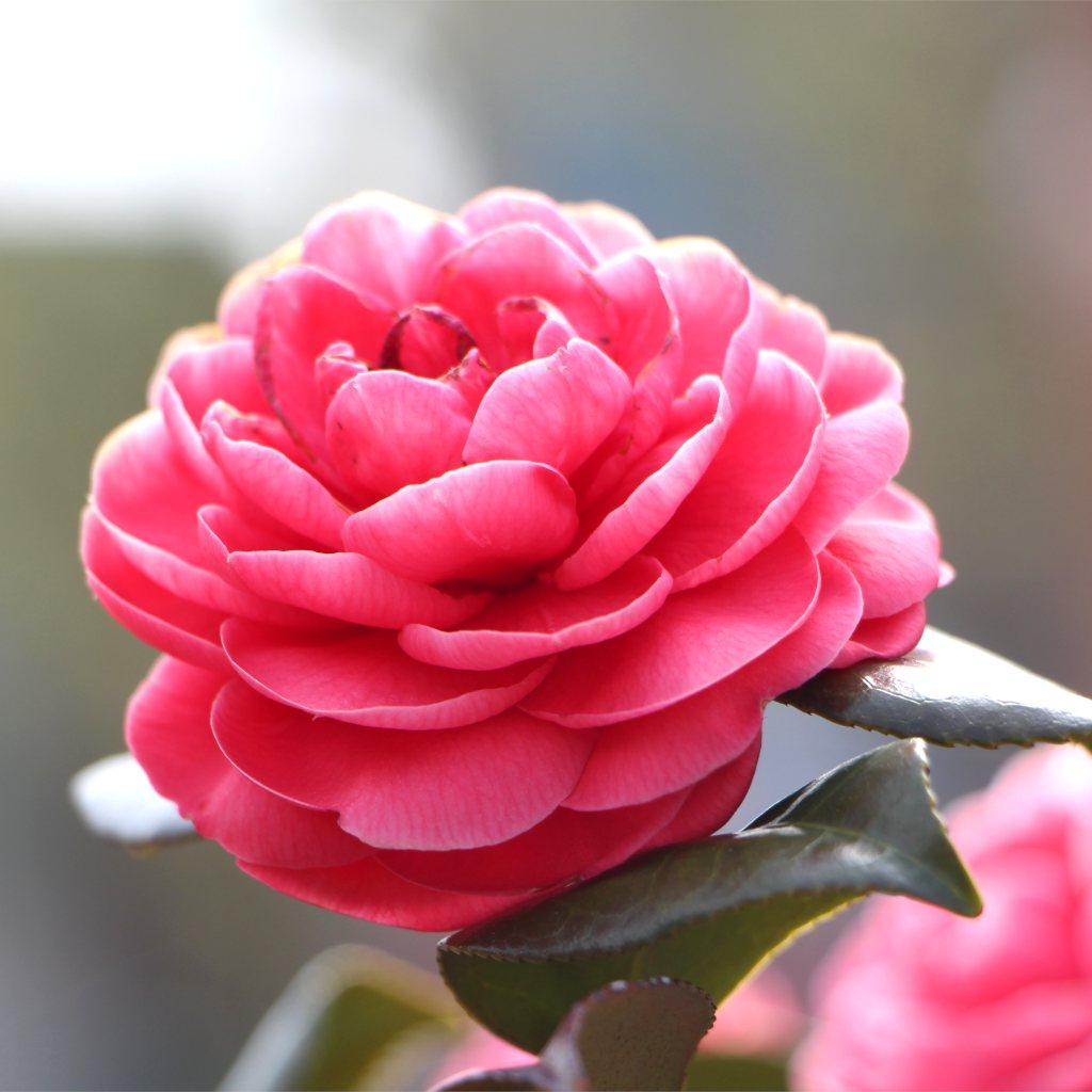 Hoa trà mi màu hồng cực kỳ đẹp
