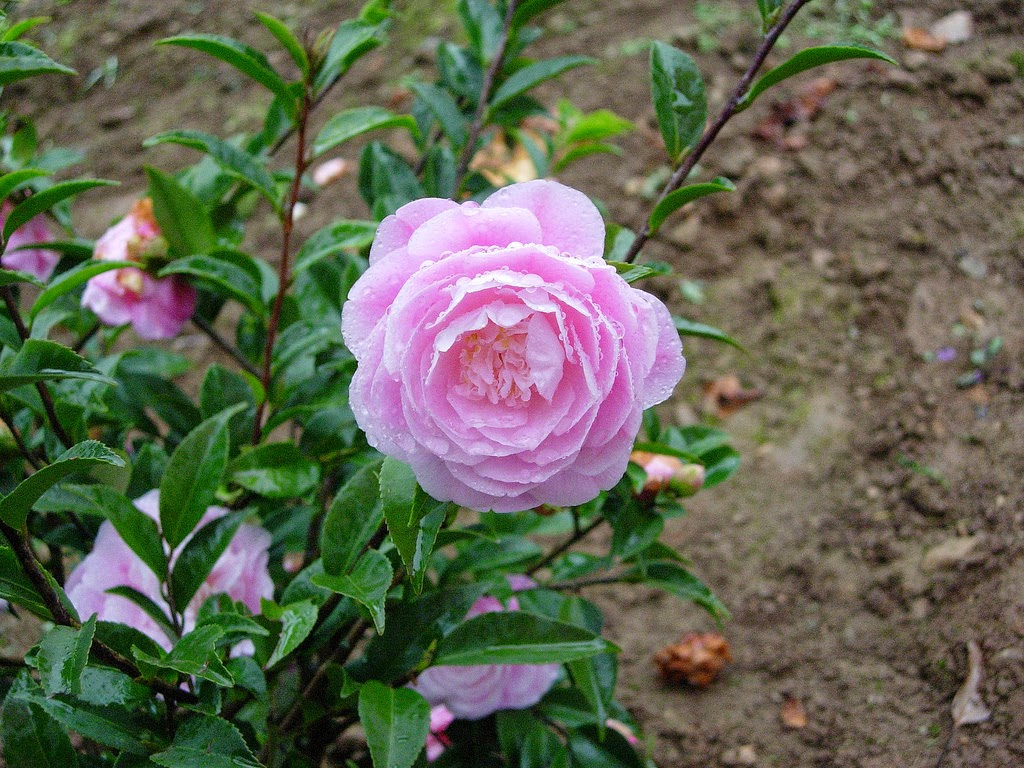 Hoa trà mi màu hồng đẹp rất đẹp