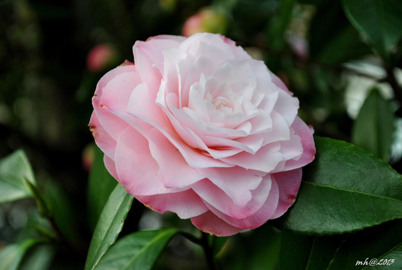 Hoa trà mi màu hồng phấn rất đẹp