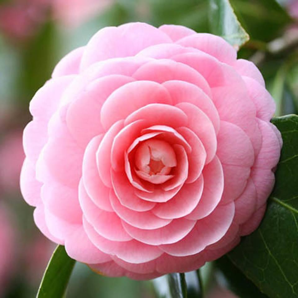 Hoa trà mi màu hồng rất đẹp mắt