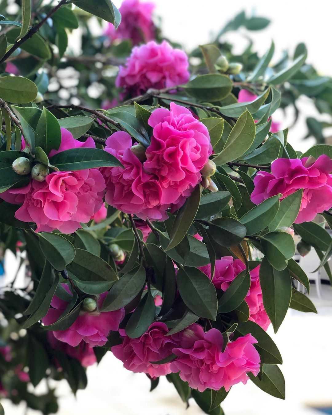 Hoa trà mi màu hồng thắm rất đẹp