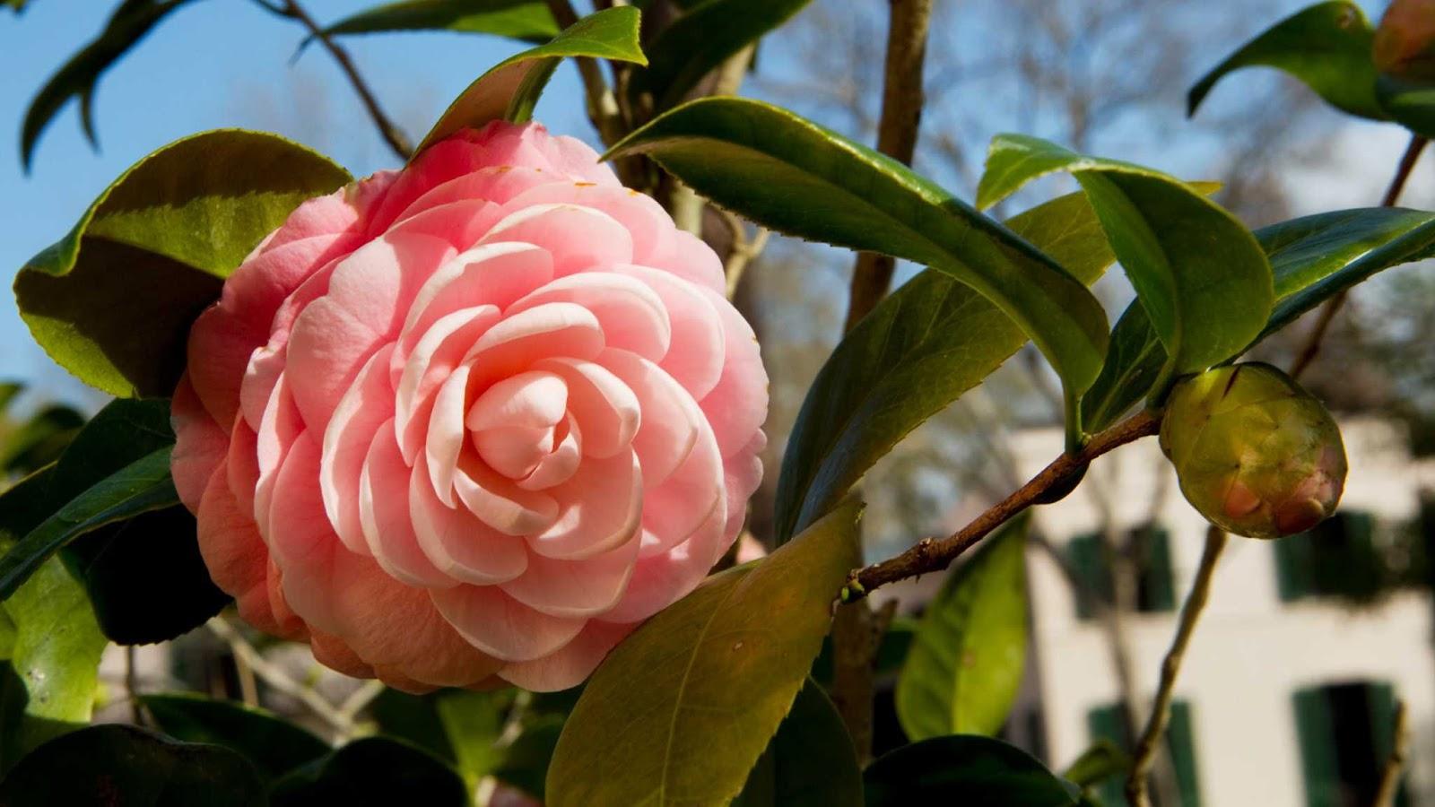 Hoa trà mi phấn hồng cực kỳ xinh đẹp