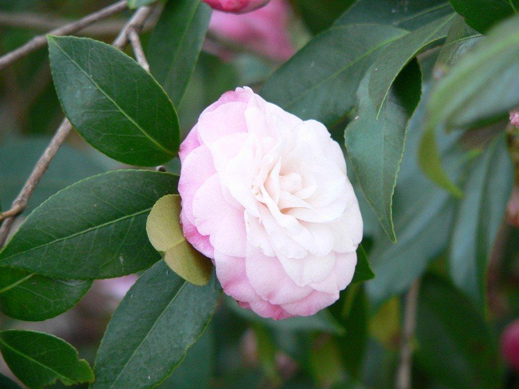 Hoa trà mi trắng cánh hồng bọc quanh