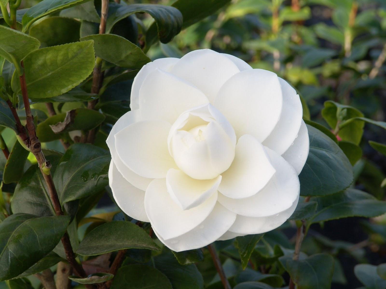 Hoa trà mi trắng tinh khôi rất đẹp