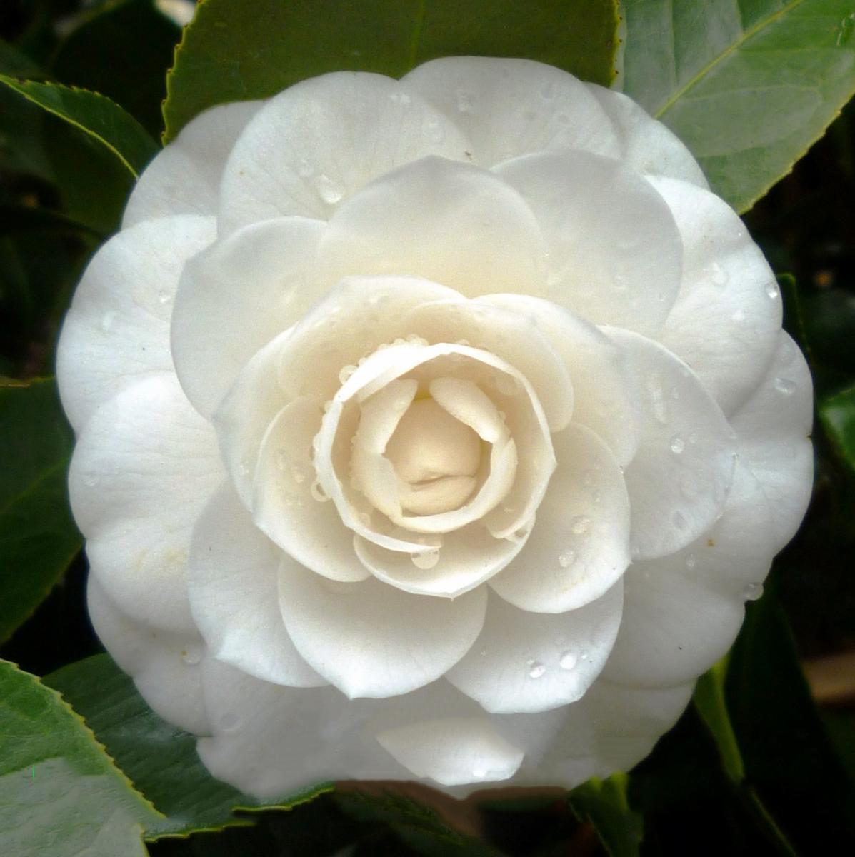 Hoa trà mi trắng vẫn còn đọng nước trông rất đẹp