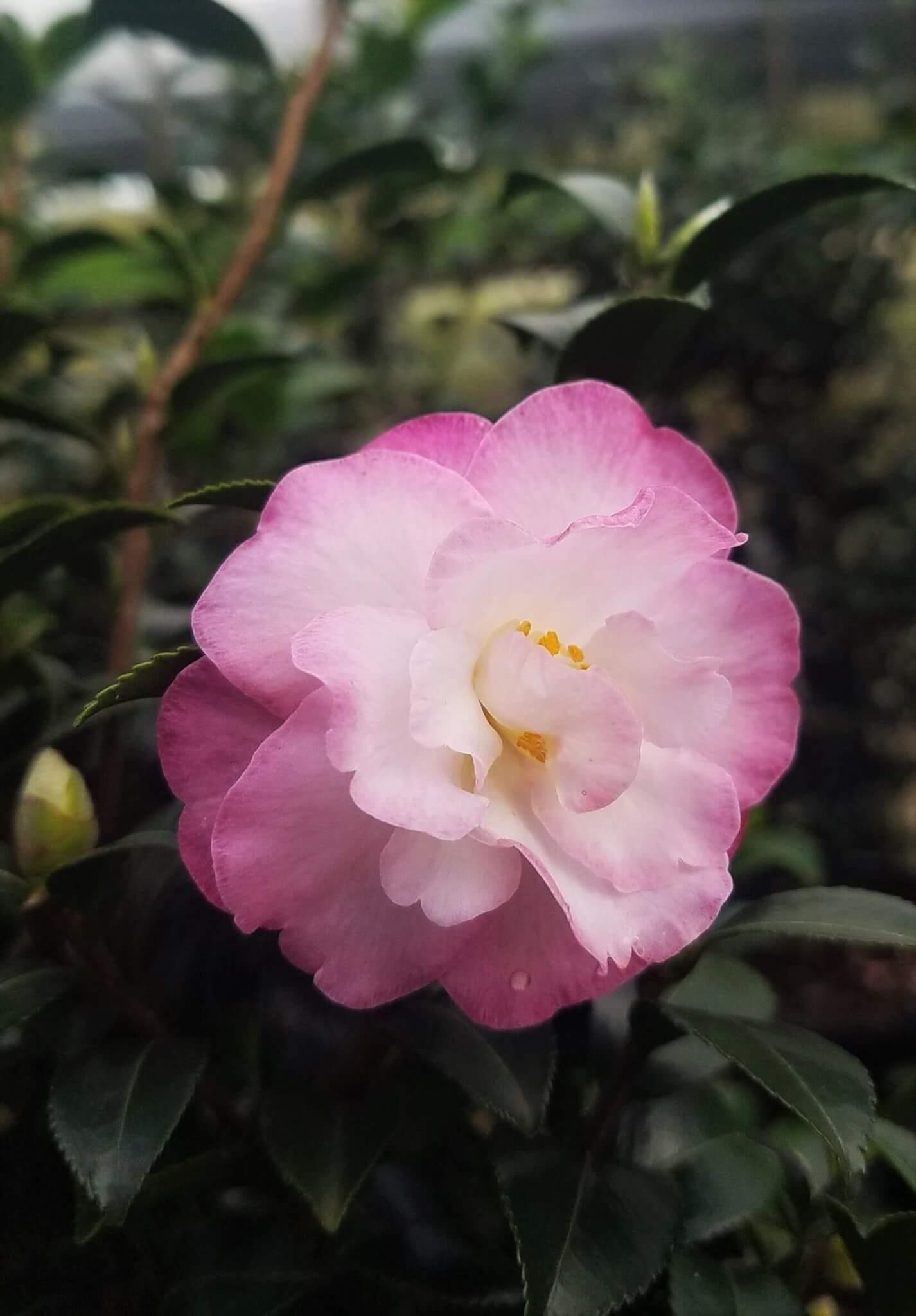 Hoa trà mi trắng viền hồng cực kỳ tinh tế