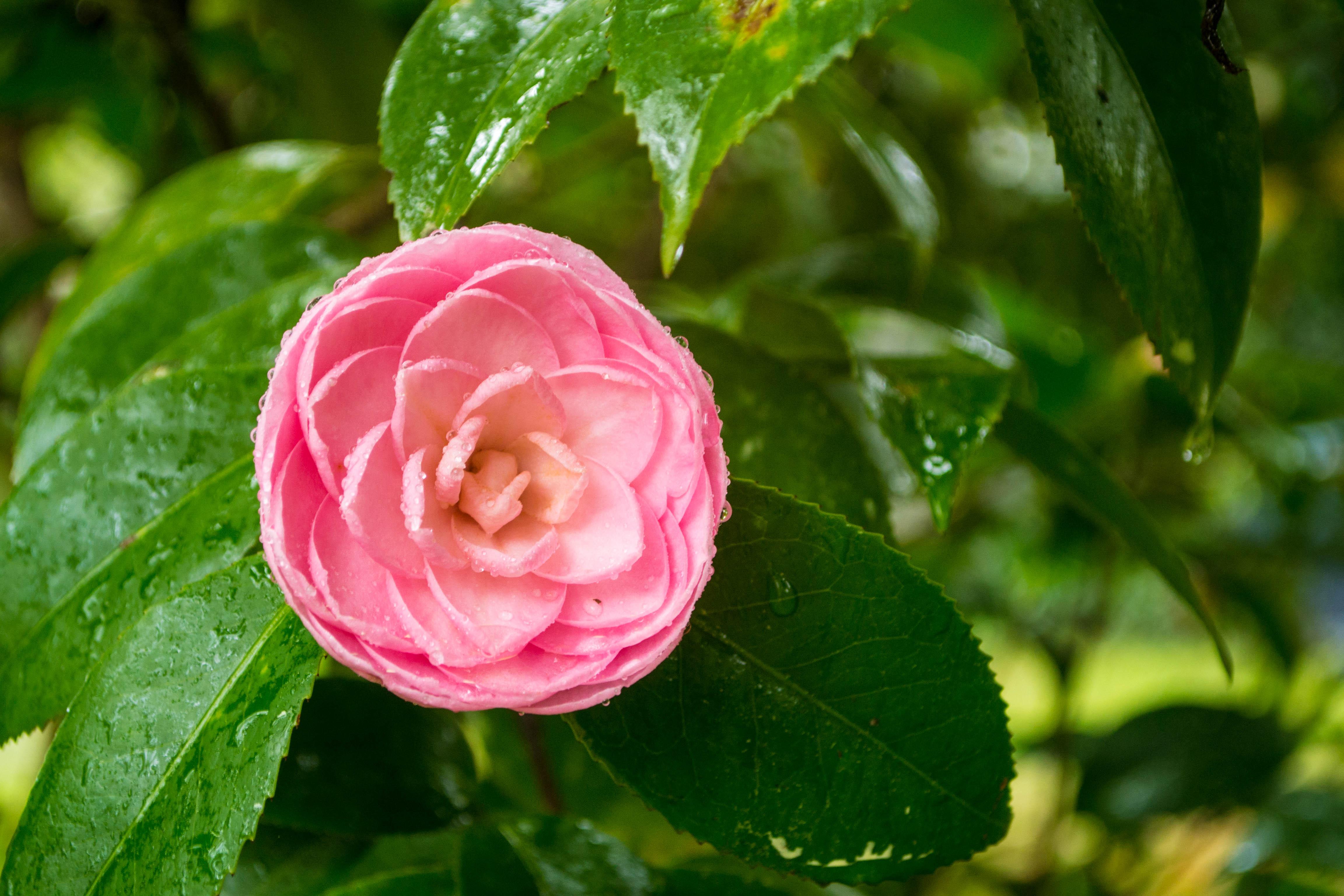 Hoa trà mi xinh đẹp rất đẹp mắt