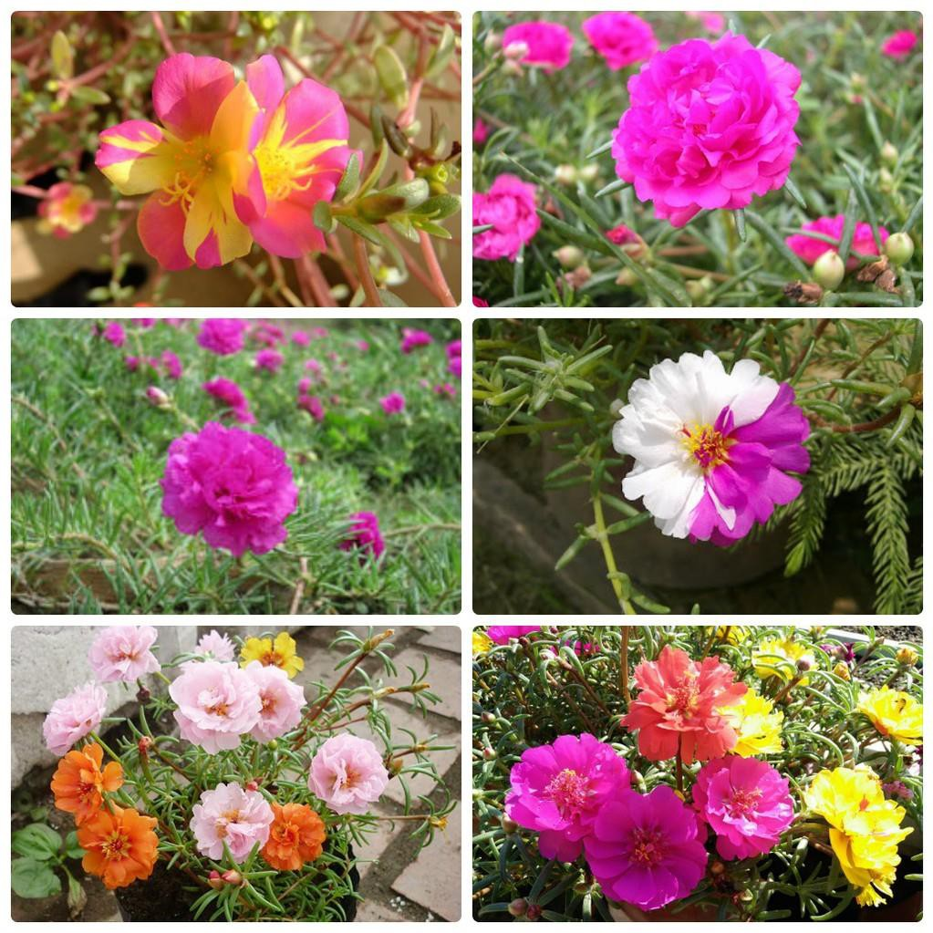 Nhiều hình ảnh của hoa mười giờ ghép lại