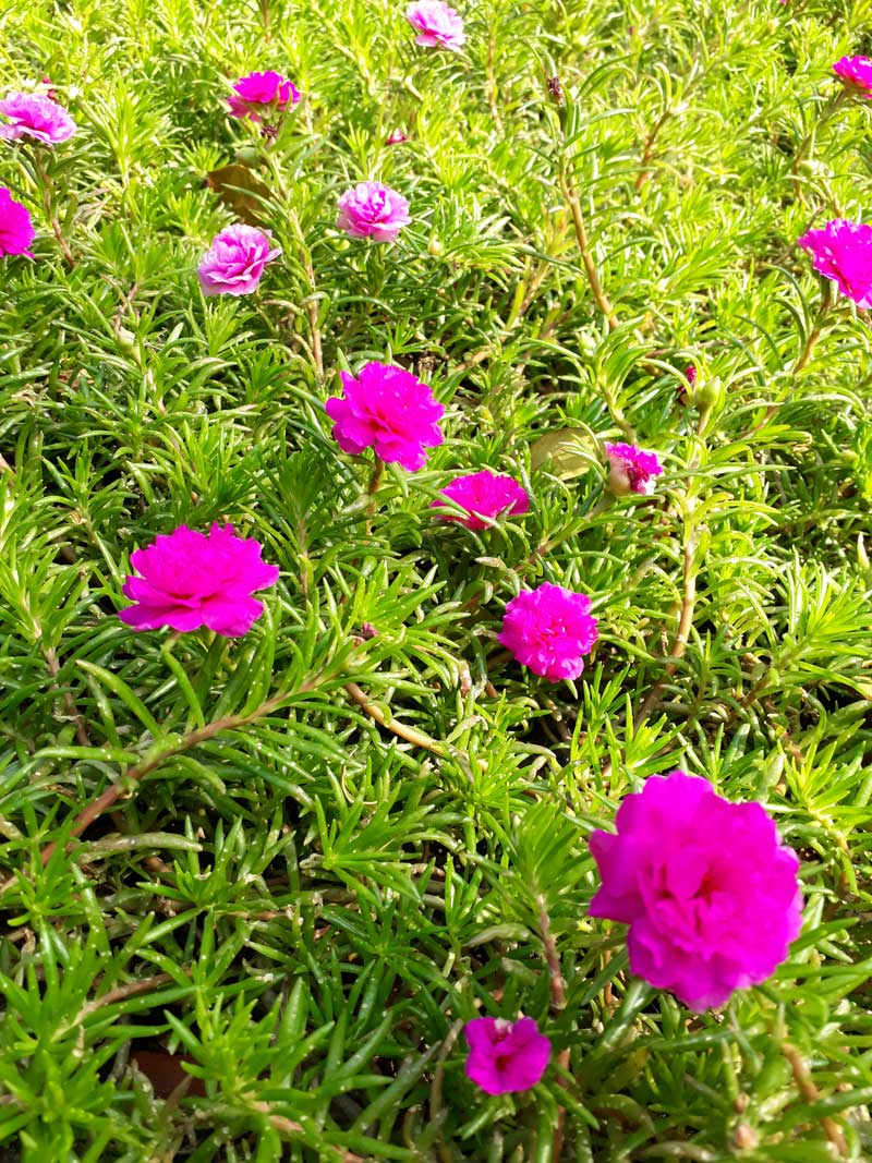 Những bông hoa mười giờ màu tím rất đẹp