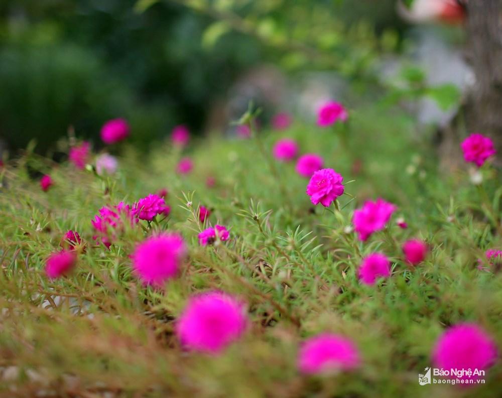 Những bông hoa mười giờ màu tím xinh đẹp