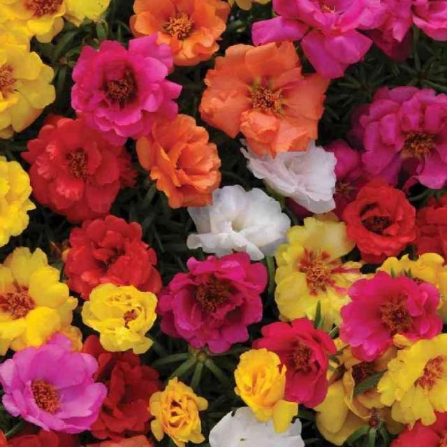 Những bông hoa mười giờ sặc sỡ nhiều màu