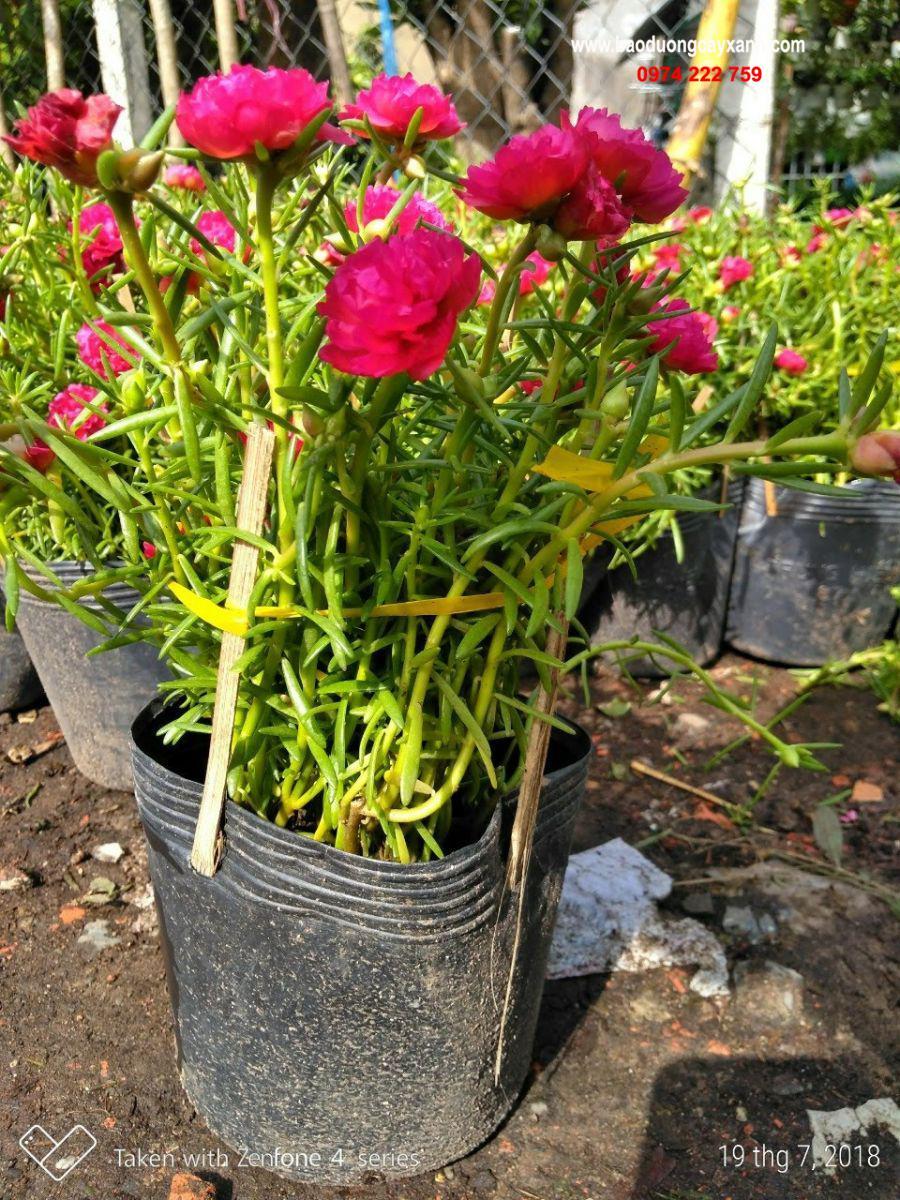 Những chậu hoa mười giờ trồng làm cảnh