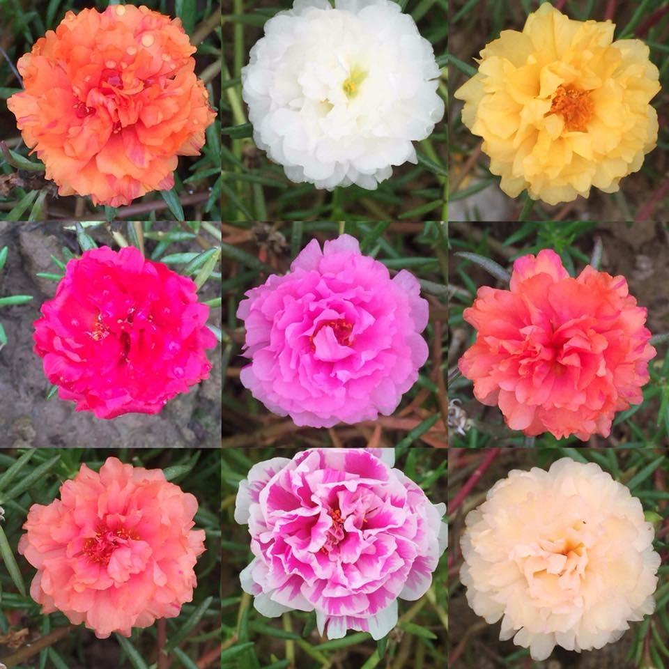 Những mẫu hoa mười giờ khác biệt