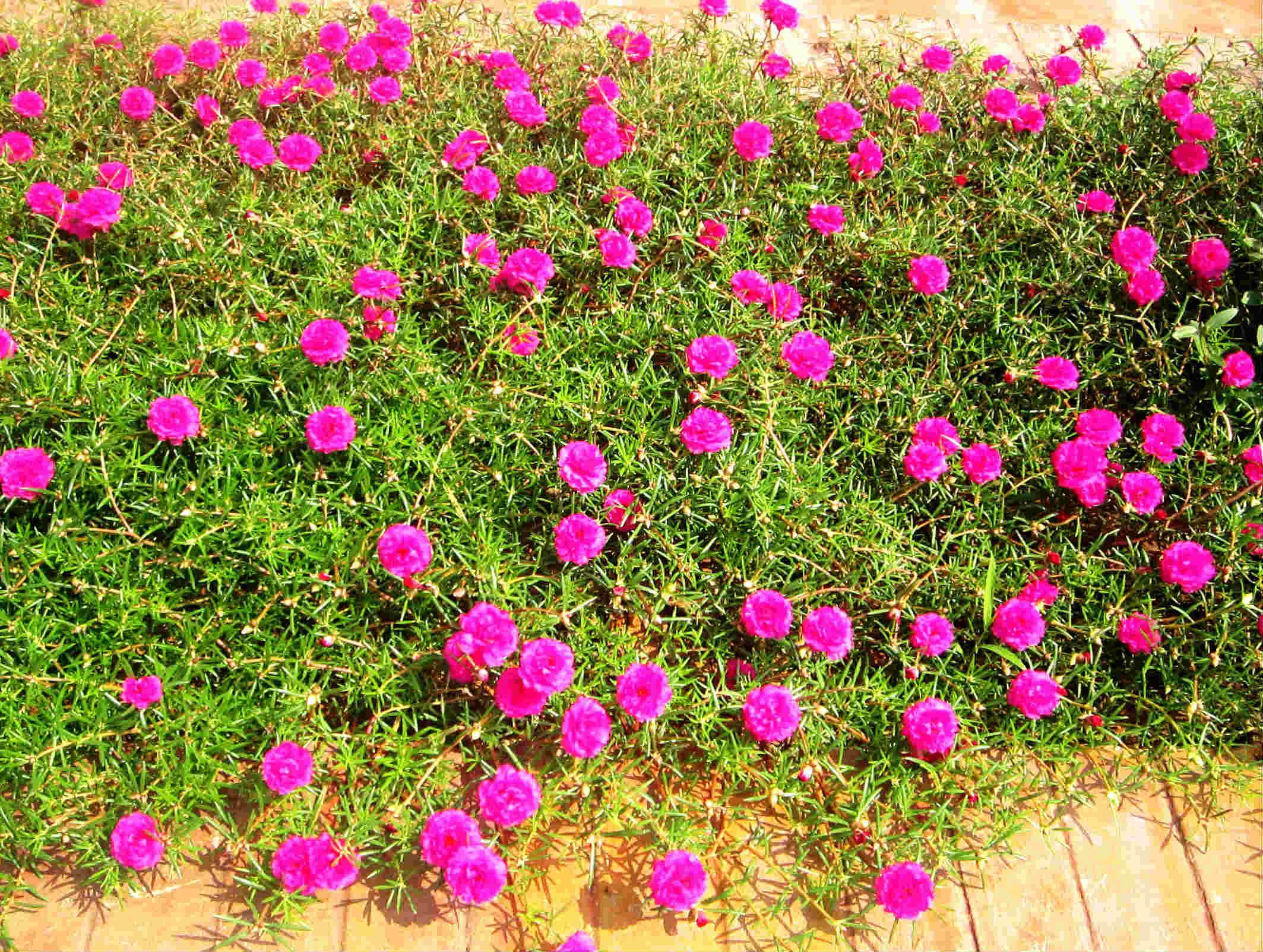 Rất nhiều bông hoa mười giờ màu tím nở rộ