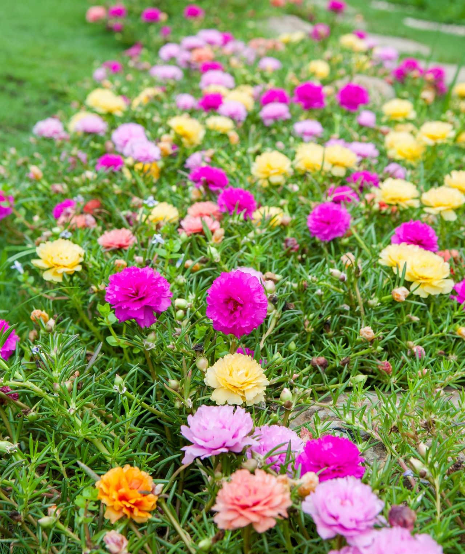 Vườn hoa mười giờ đẹp