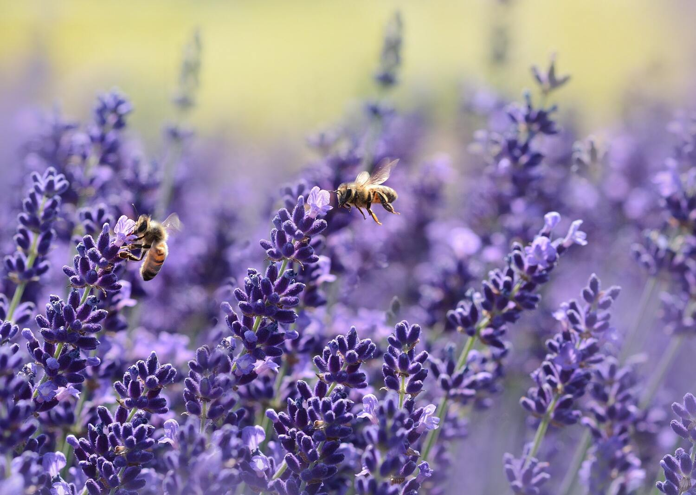Ảnh con ong hút mật đẹp