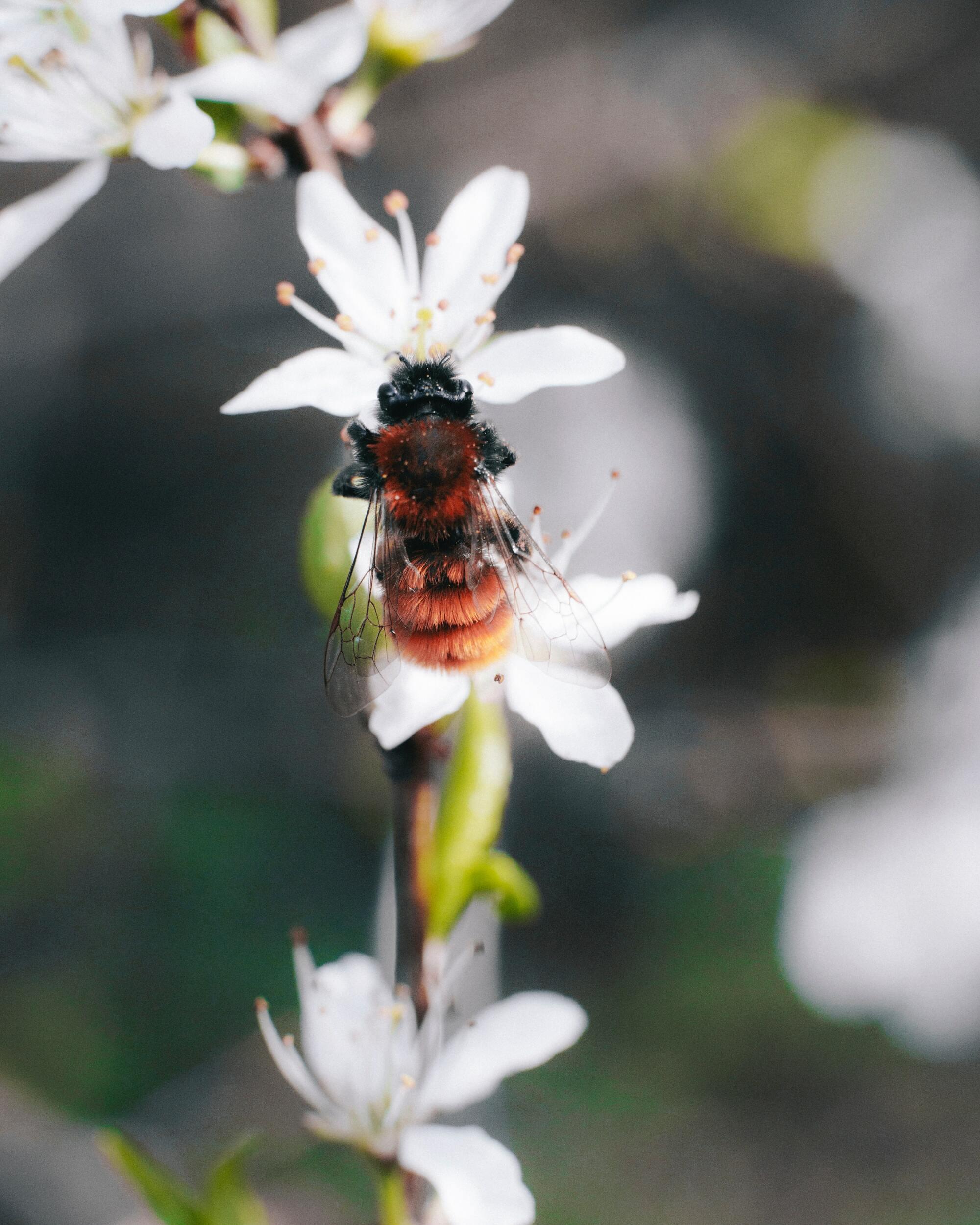 Ảnh con ong hút mật hoa đẹp nhất