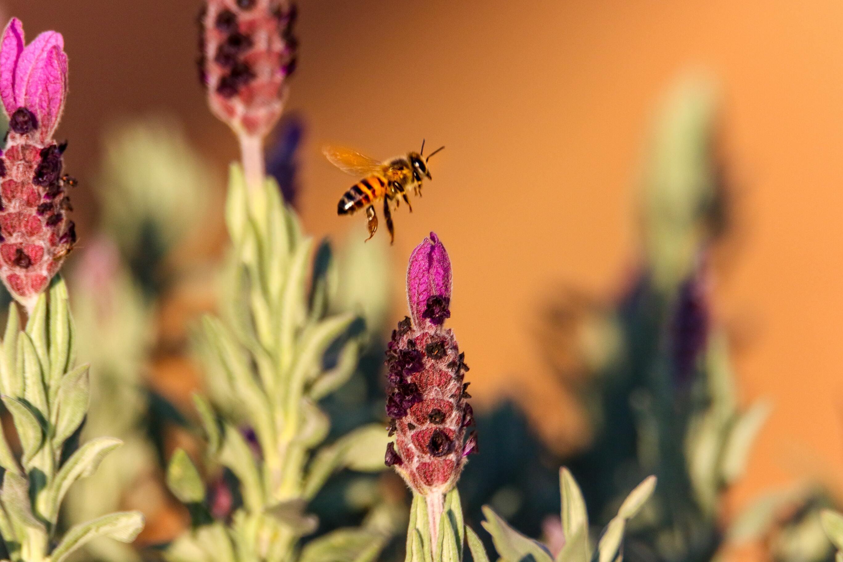 Ảnh con ong hút mật