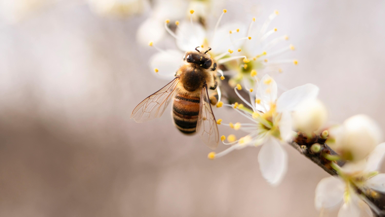 Ảnh con ong lấy mật đẹp