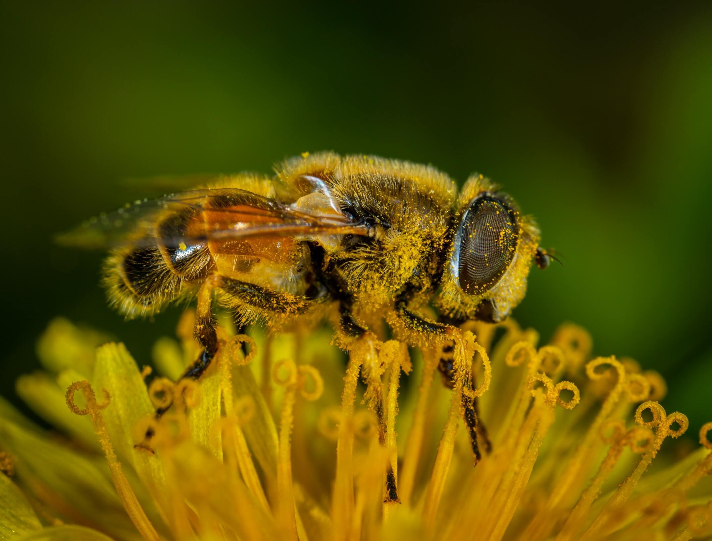 Ảnh con ong vàng đẹp nhất