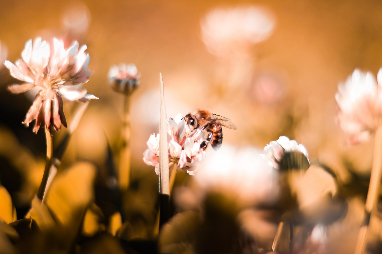 Ảnh con ong vàng hút mật