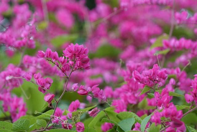 Ảnh đẹp về hoa tigon