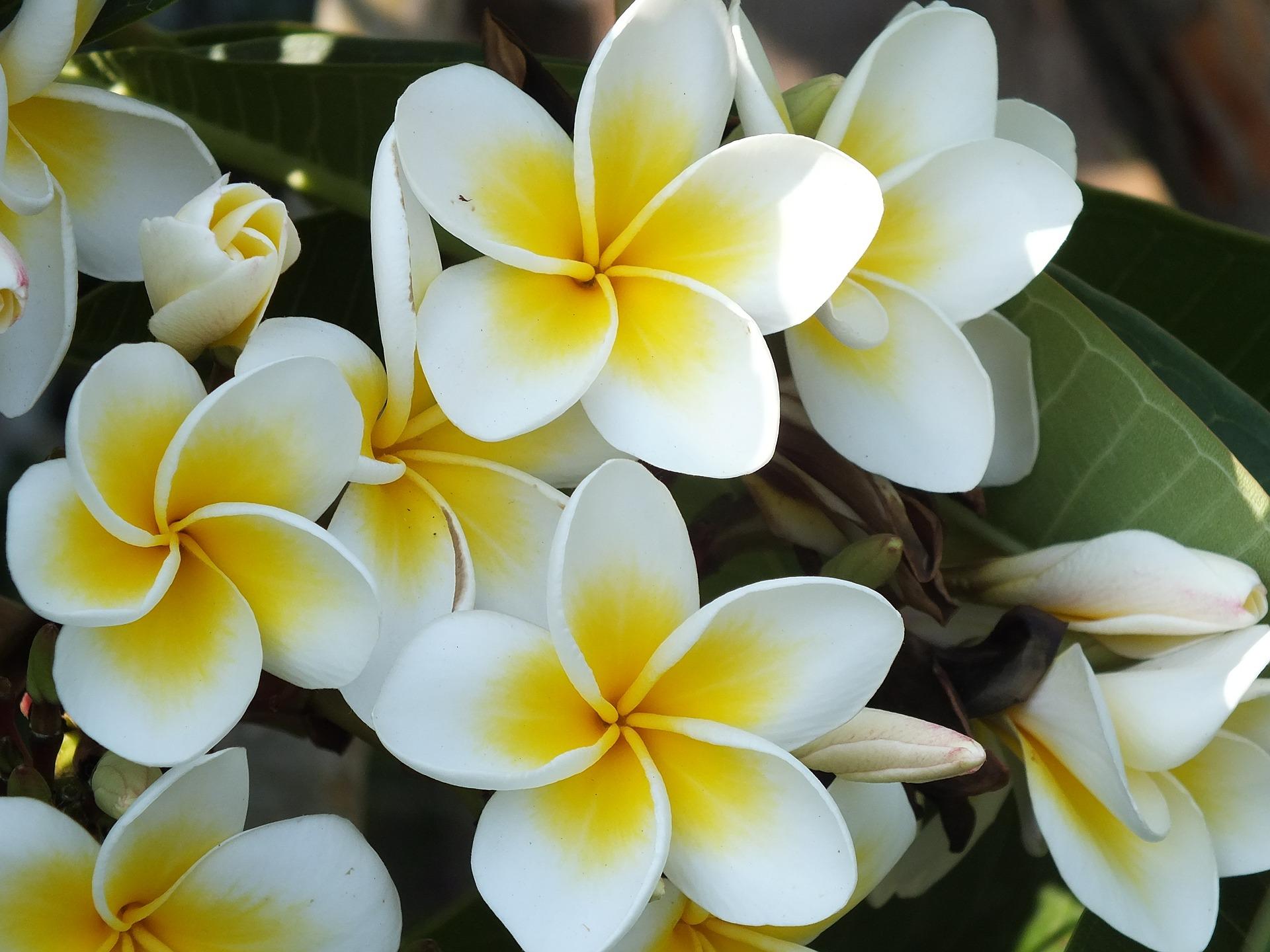 Ảnh hoa đại trắng đẹp nhất