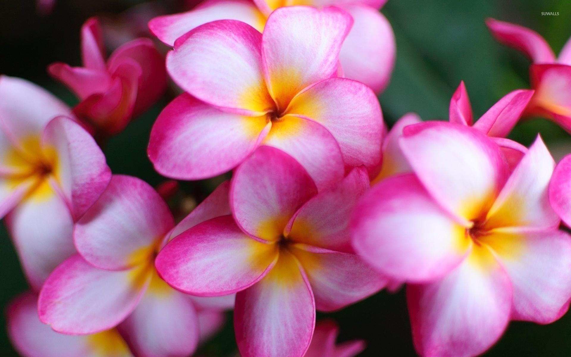 Ảnh hoa Sứ hồng