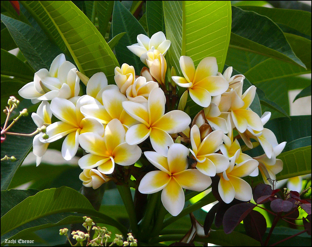 Ảnh hoa sứ vàng trắng đẹp