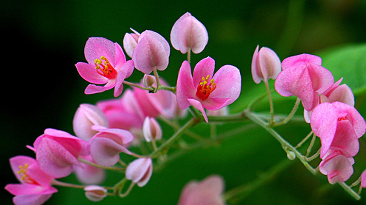 Ảnh hoa tigon hồng