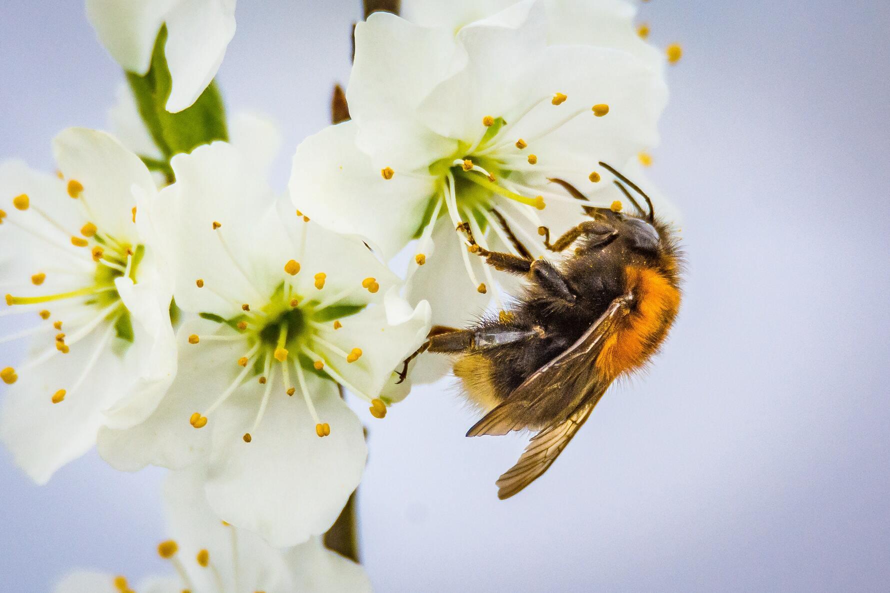 Ảnh ong thợ lấy mật