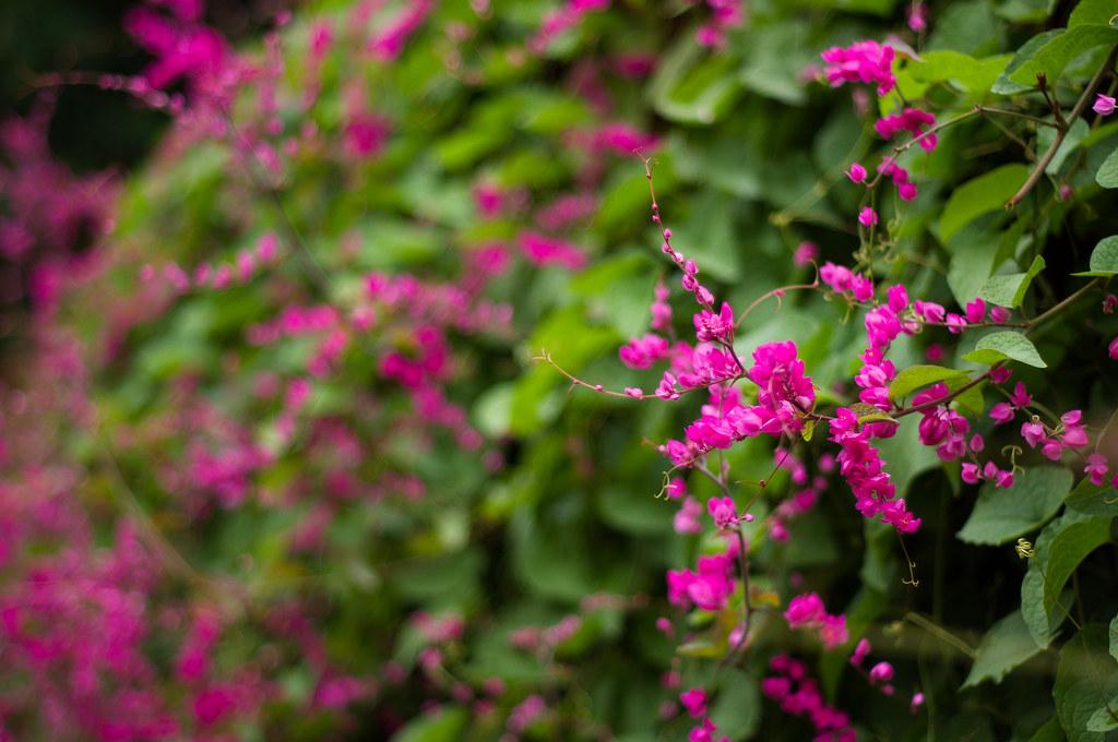 Hình ảnh bờ rào hoa tigon đẹp nhất