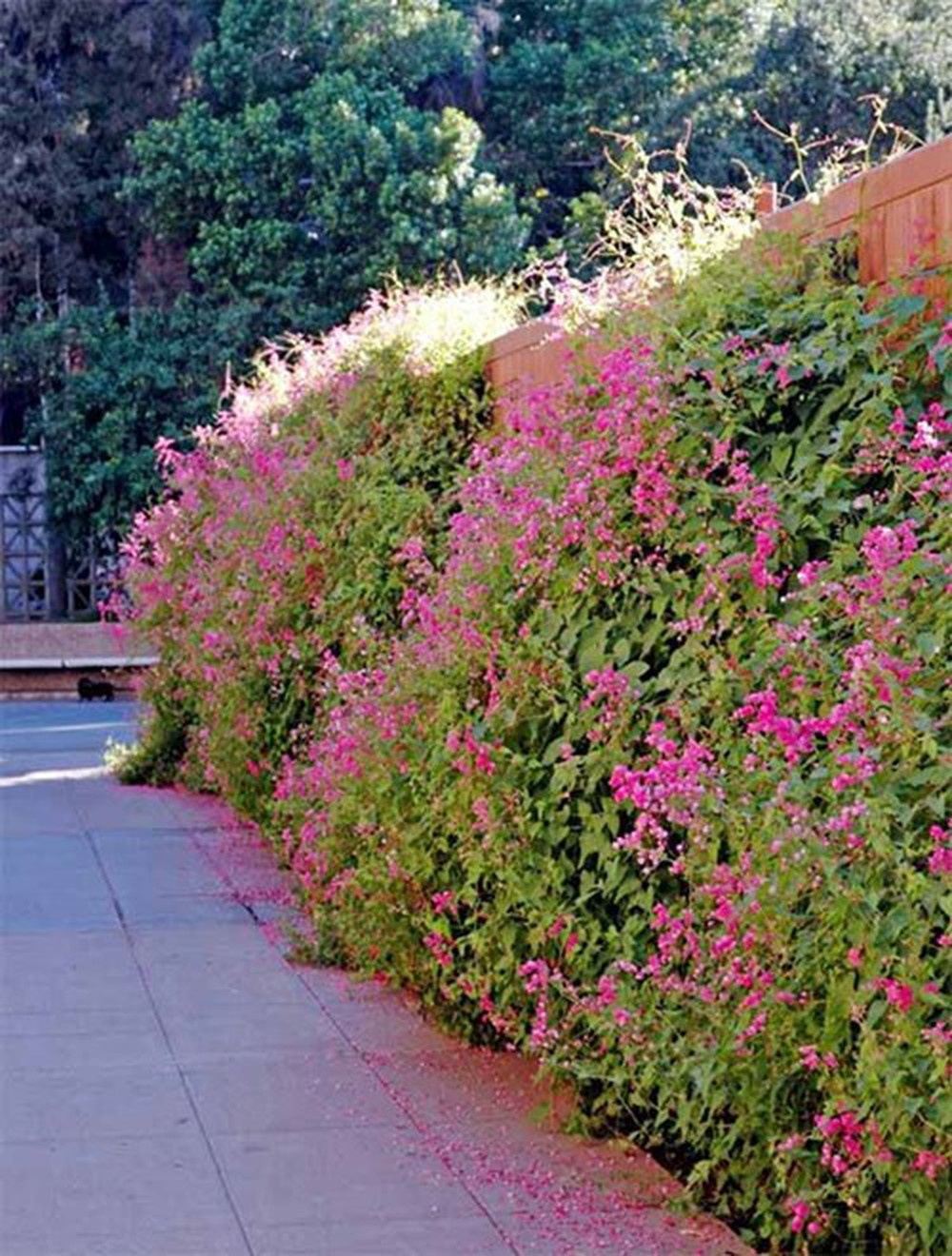 Hình ảnh bờ rào hoa tigon đẹp
