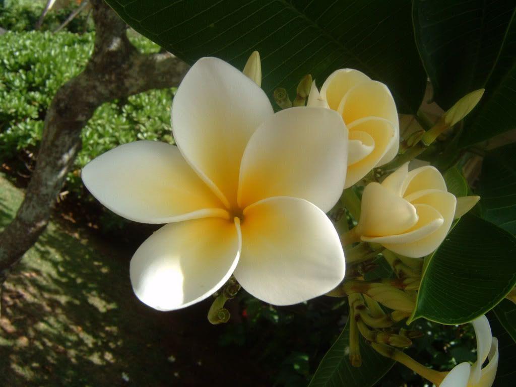 Hình ảnh bông hoa sứ đẹp