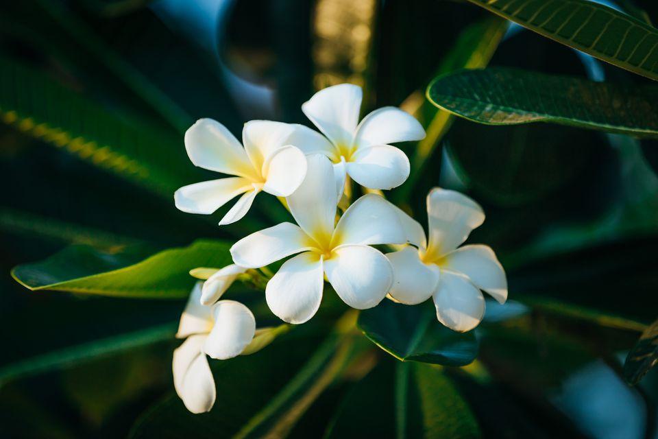 Hình ảnh bông hoa sứ lai đẹp nhất
