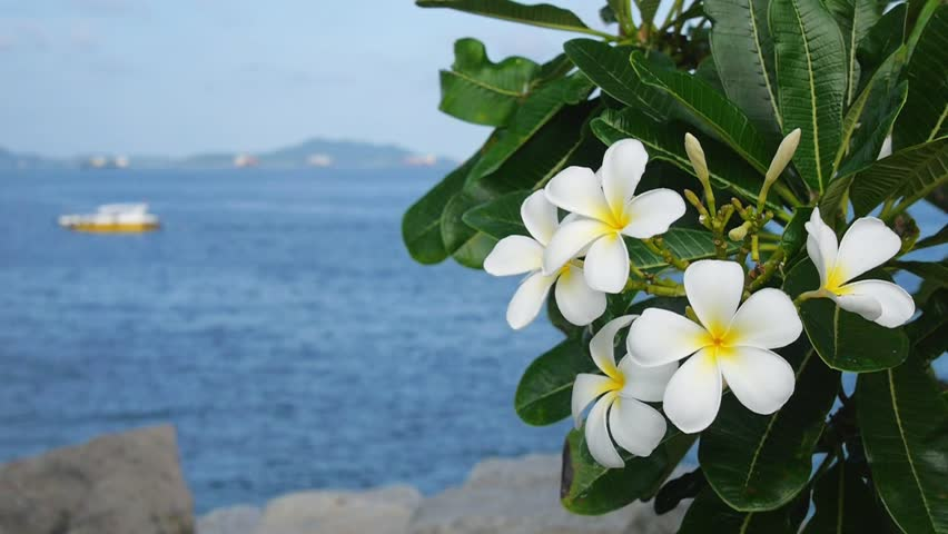 Hình ảnh bông hoa sứ trắng đẹp