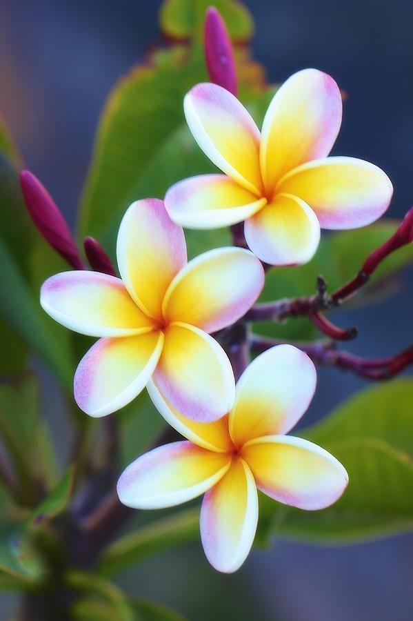 Hình ảnh bông hoa sứ vàng đẹp