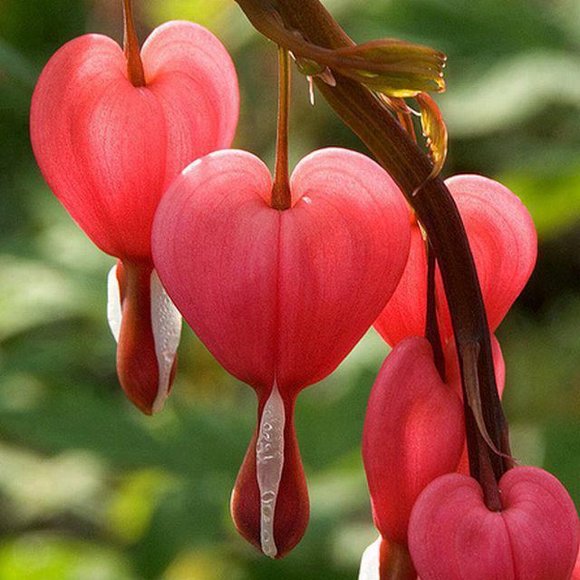 Hình ảnh bông hoa tigon đỏ