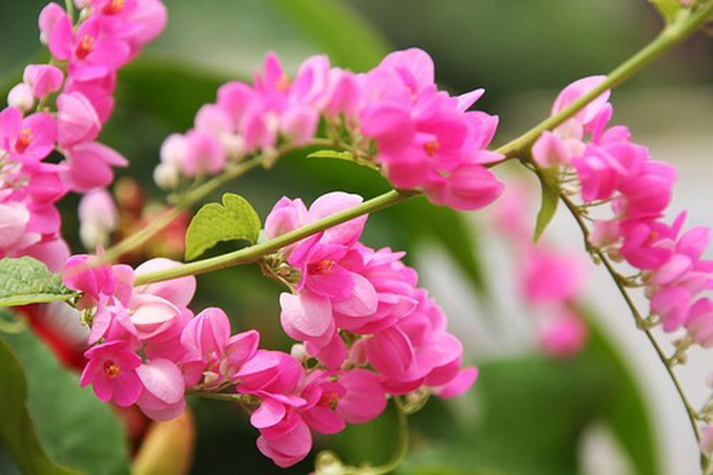 Hình ảnh cành hoa tigon đẹp