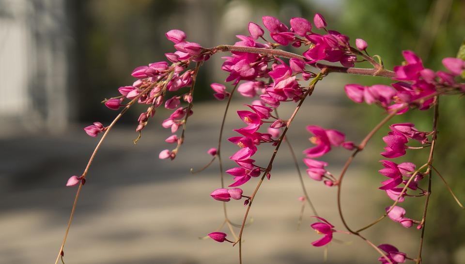 Hình ảnh cành hoa tigon đỏ