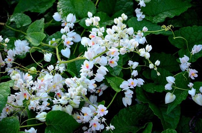 Hình ảnh cây hoa tigon trắng