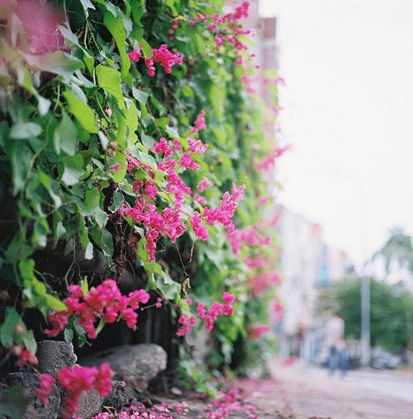 Hình ảnh cây hoa tigon