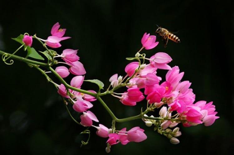 Hình ảnh chùm hoa tigon