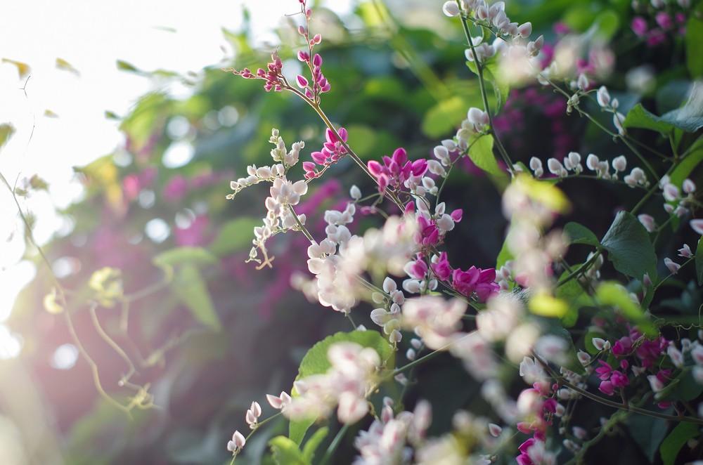 Hình ảnh chụp hoa tigon